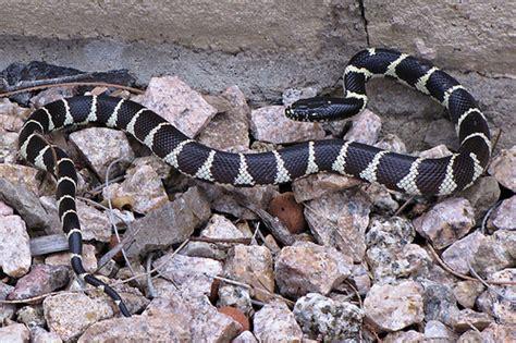 Garden Snake Arizona King Snake In The Backyard Minutes Ago In Tucson