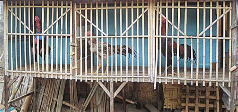 Alas Kandang Umbaran agen sabung ayam kandang yang baik bagi ayam aduan