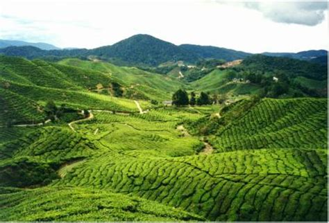 hilly areas of the world.....!!!: cameron highlands (malaysia)
