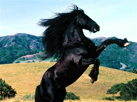 black stallion horse animals zoo park 12 black horse wallpapers black horses