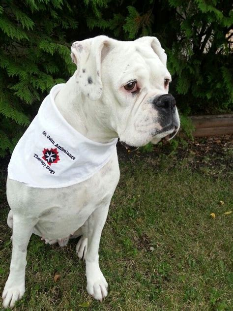 learn how to service dogs service dogs does your boxer what it takes the daily boxer