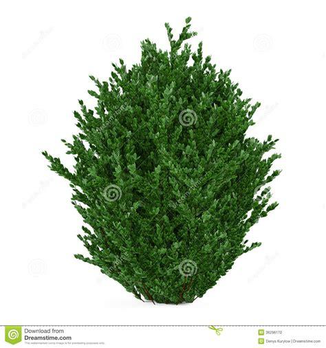 plant bush isolated stock photo image 36296170