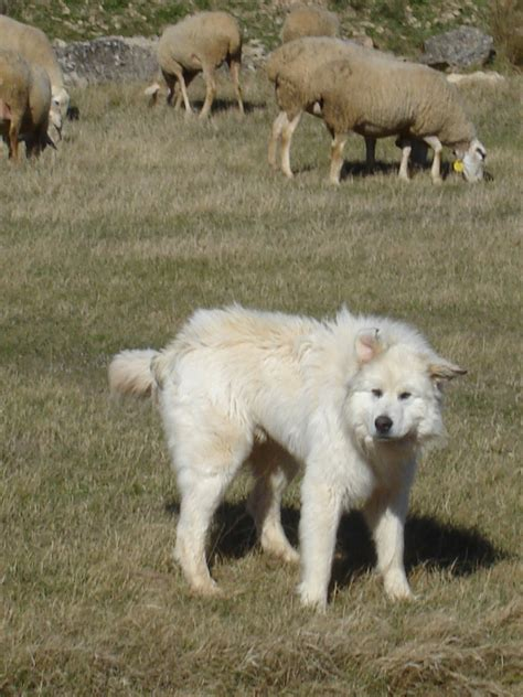 sheep puppy great pyrenees breed photo breeds picture