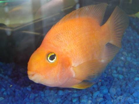genetics of the blood parrot cichlid greg thecrazyfishguy s aquarium research