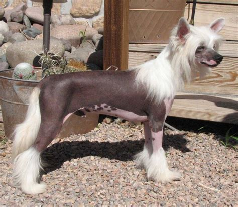 chinese crested hairless pictures to pin on pinterest