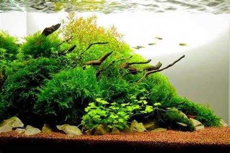 tanaman air tawar aquascape   digemari