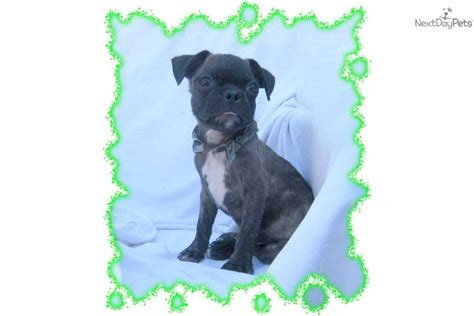 pug buggy meet buggy a pug puppy for sale for 299 gorgeous designer breed bugg 1 2 pug 1