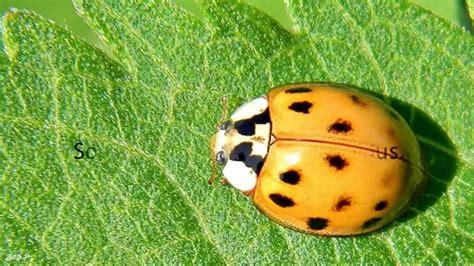 asian beetle image gallery japanese ladybug beetle