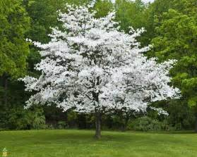white flowering dogwood tree on sale the planting tree