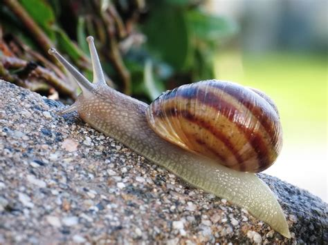 Picture Of Snail file common snail jpg