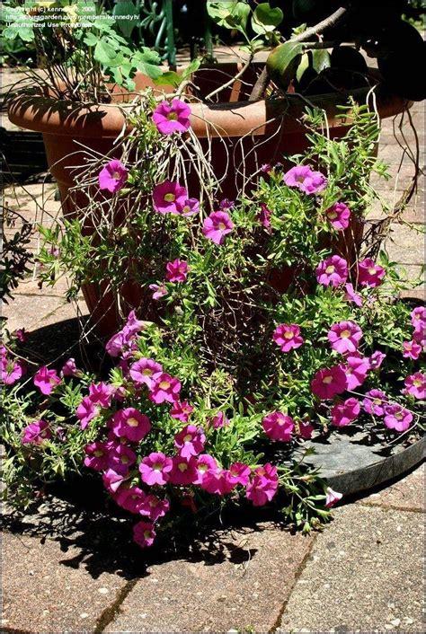 plantfiles pictures calibrachoa million bells