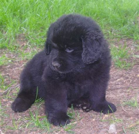 newfoundland puppies california newfoundland pup living in st new brunswick
