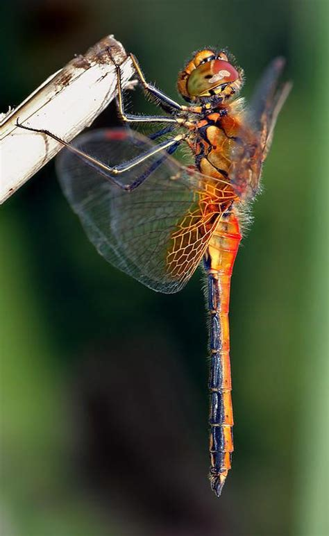 a bug of a different color the benefits 1099 best dragonflies images on butterflies