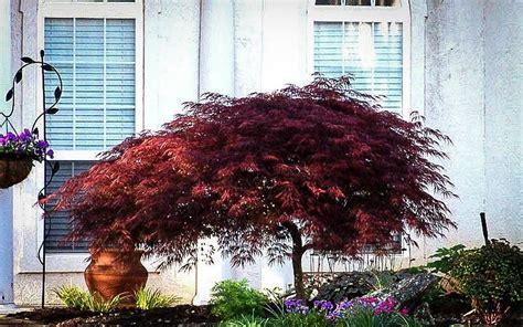 red dragon japanese maple  tree center