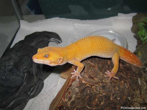leopard gecko care sheet onlinegeckos com gecko breeder