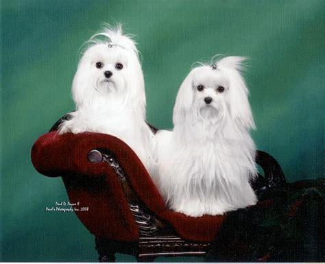 maltese shih tzu grooming maltese shih tzu pomeranian grooming salon breeds breeds picture