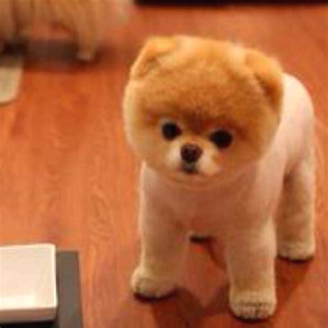 pomeranian husky hypoallergenic pomsky pomeranian husky cutest thing animals puppies cas and