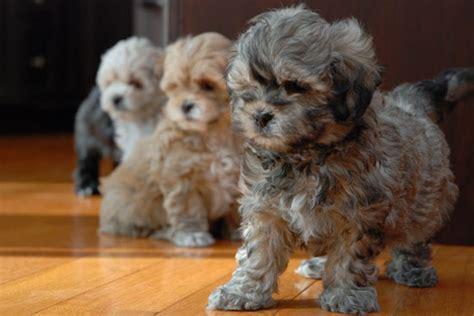 shih poo puppies for sale shih poo puppies for sale