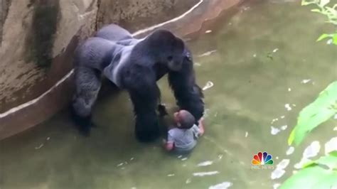 rescue cincinnati cincinnati zoo kills 400 pound gorilla to rescue trapped toddler nbc news