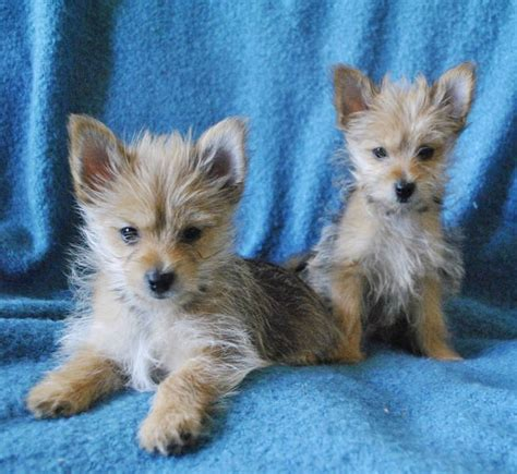 terrier and pomeranian mix pomeranian terrier mix animals terrier mix terriers and