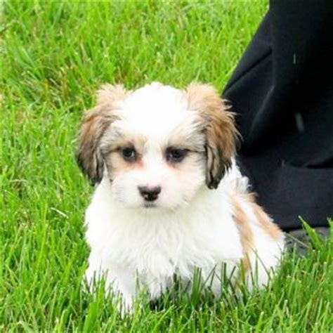 shichon difficult shichon teddy bear puppies for sale in de md ny nj