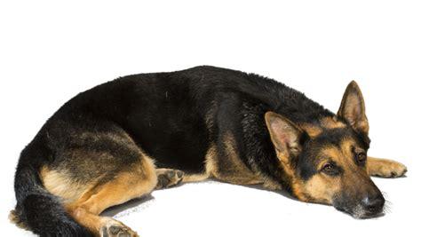 German Shepherd Also Search For Understanding The Advantages Of Owning A Black German Shepherd German Shepherd