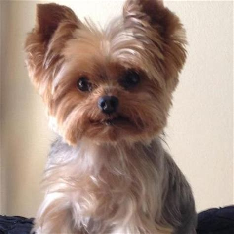 yorkie teddy bear face haircut 27 best images about yorkie on pinterest yorkie puppies
