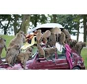 You Cheeky Monkeys Safari Park Baboons Ransack Cars After Learning To