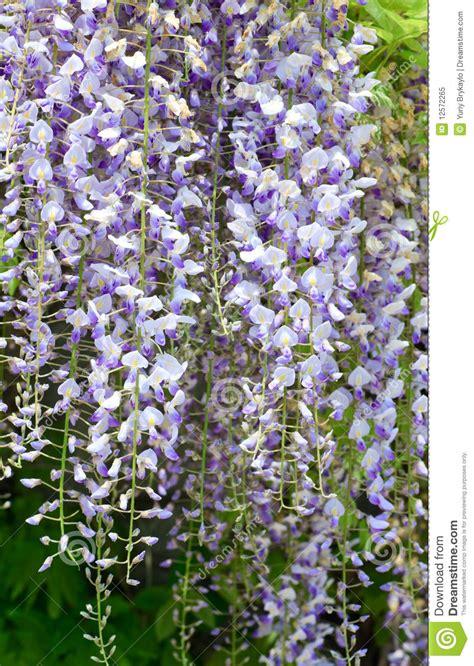 pianta con fiore viola pianta fiore con i fiori viola fotografia stock libera