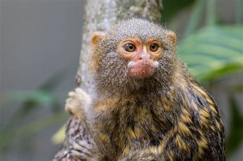 one of the smallest monkey species are the adorable marmosets