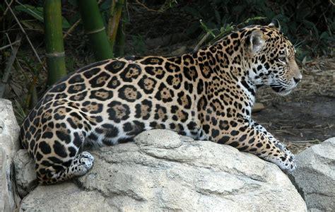 Gratis billede: Jaguar, Pletter, Jungle, Vild, Dyr