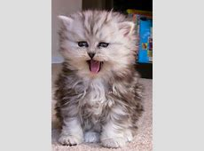 18 of the Fluffiest Cats on the Planet - We Love Cats and ... Fluffiest Kittens In The World