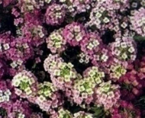 fiore alisso alisso alyssum maritima piante annuali