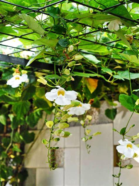 Bibit Tanaman Merambat Bunga Thunbergia Ungu jual tanaman rambat thunbergia thunbergia grandiflora habiban taman dan landscape