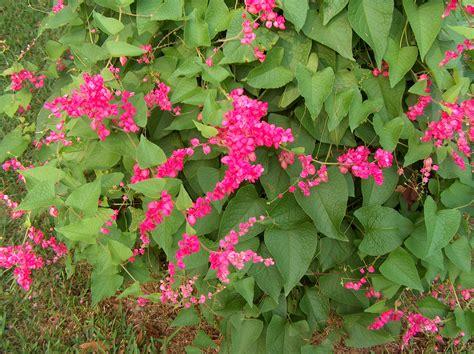 online plant guide antigonon leptopus rose of montana