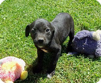 pug collie mix liberty center oh pug border collie mix meet doodle a puppy for adoption