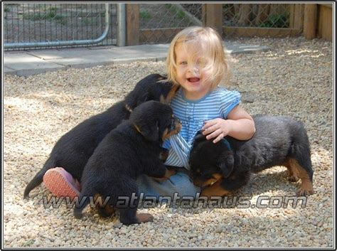rottweiler puppies huntsville al rottweiler puppies for sale in alabama al