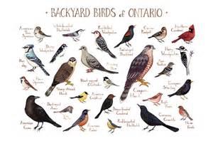 ontario backyard birds field guide print watercolor