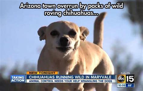 Funny Chihuahua Memes - funny chihuahua dog memes