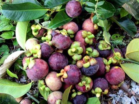 Tanaman Manggis Pohon Manggis 085894576246 peluang usaha budidaya manggis dan analisa usahanya agrowindo