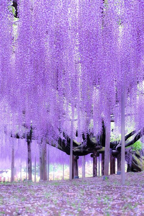 ashikaga flower park ashikaga flower park tochigi japan by noe arai 藤