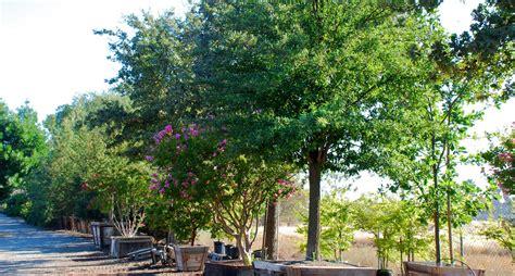 tree fresno ca specimen tree growers nursery