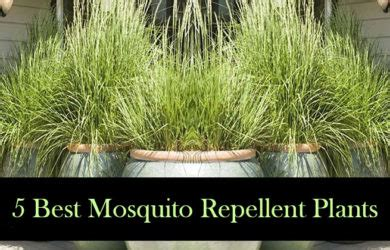 mosquito repellent plants plants that keep mosquitoes away archives best herbal health