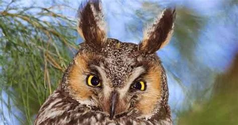Jual Pakan Burung Semarang burung hantu telinga panjang