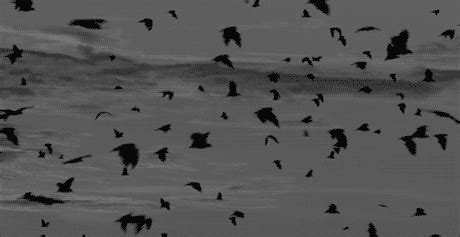 pretty gifts black and white bird gif find on giphy