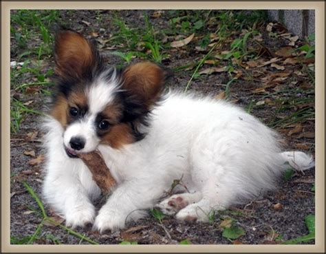 papillon puppies for sale in florida papillon puppies for sale in florida