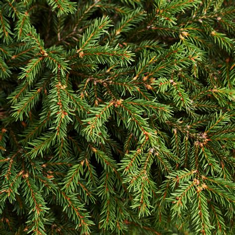 recycle your real christmas trees the exeter daily