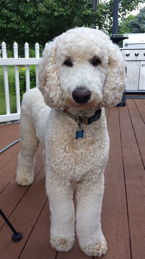 different poodle haircuts de 20 b 228 sta id 233 erna om poodle haircut p 229 pinterest