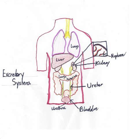 diagram of excretory system diagram of the excretory system for www imgkid