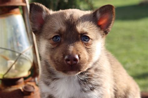 pomsky puppies for sale az lush pomsky puppies review wisconsin pomsky breeder pomsky pup